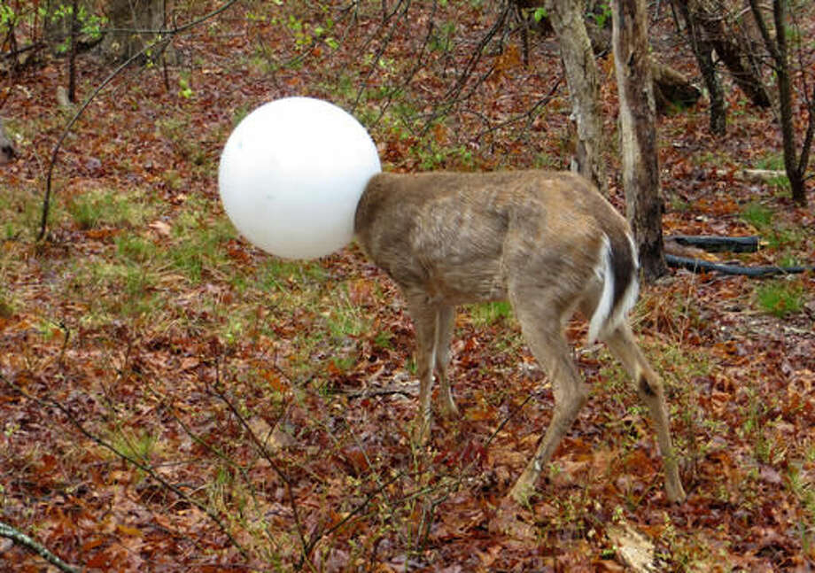 In this May 3, 2016 photo provided by the New York State Department of Environmental Conservation, a deer with its head caught in the globe from a lighting fixture over its head stands in the woods in Centereach, N.Y. The deer was able to extricate itself with the help of Environmental Conservation Officer, Jeff Hull. Hull wrestled with the deer for a while and the globe shook free in the process. (New York State Department of Environmental Conservation via AP) Photo: HOGP