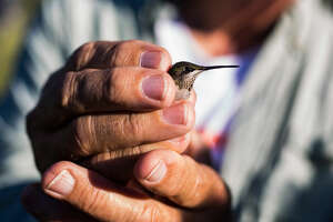 Biologist Kelly Brian holds a female Ruby Throated  Hummingbird  as bird watchers gathered at the McIvor Visitor Center in the Davis Mountains Nature Preserve for a banding demonstration on Saturday, August 20, 2016. The trip was part of a three day excursion with the Davis Mountain  Hummingbird  Festival in which roughly 80 birders flocked to Fort Davis.