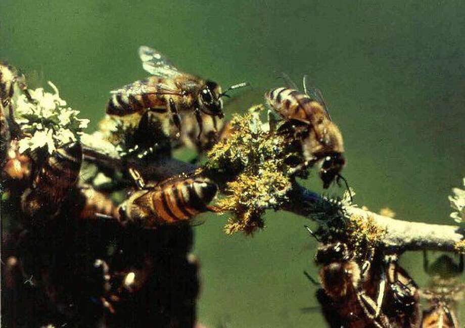 In this undated photo released by the Texas Cooperative Extension, Africanized honey bees are shown on a tree limb near the Texas A&M Research and Extension Center near Weslaco, Texas. Africanized honey bees, the so-called killer variety, are almost everywhere in Texas, prompting state officials to decide there's no need to continue quarantines. (AP Photo/Texas Cooperative Extension, Jerrold Summerlin)