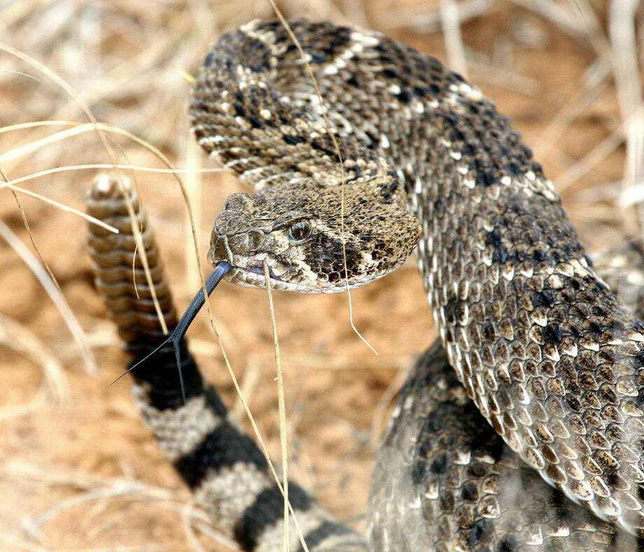 Western diamondbackrattlesnakes, the most widespread and populous venomous snake in Texas, are most common in the western two-thirds of the state but also inhabit coastal prairie and especially, sandy, grassy areas near beaches and bayfront along the entire coast. Photo: Houston Chronicle