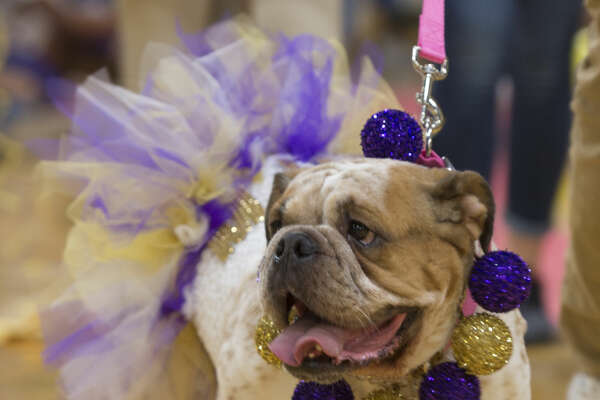 Zoey walks out Friday 09-23-16 during the annual Bulldog Beauty Pageant at Midland Freshman to pick a mascot for the class. Tim Fischer/Reporter-Telegram