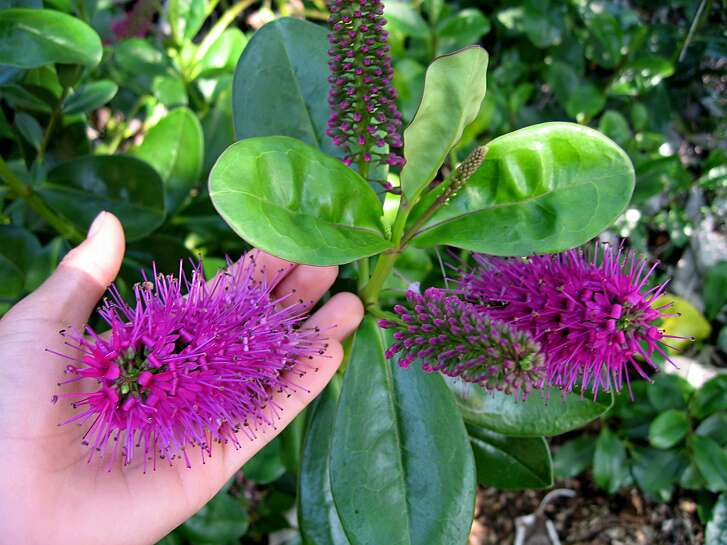 Hebe speciosa.  Credit: Annie�s Annuals and Perennials