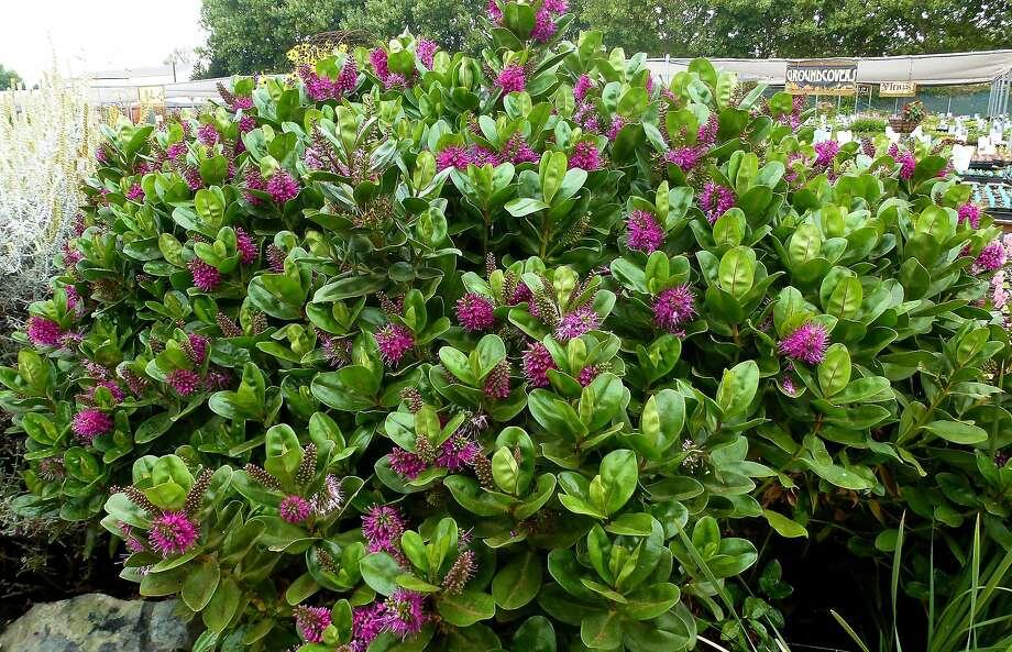 Hebe speciosa small evergreen shrub that bees love san for Hebe pianta