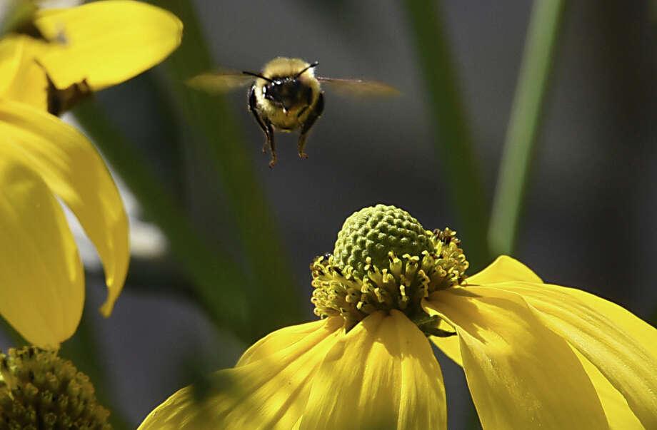 A bumblebee lands on a flower on Monday, Sept. 26, 2016 in Saratoga Springs, N.Y. (Lori Van Buren / Times Union) Photo: Lori Van Buren