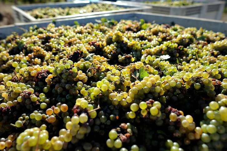 Hand picked Riesling grapes are pilled macro bins for transport, during a harvest at Wirz Vineyards in Hollister, CA, October 3, 2014.