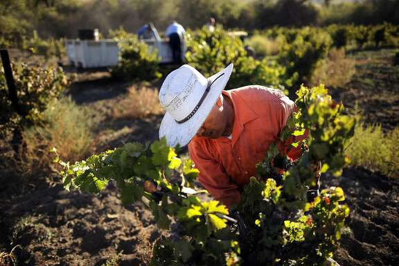 Jesus Morales picks Riesling grapes from dry-farmed, head trained vines as he and other workers harvest at Wirz Vineyards in Hollister, CA, October 3, 2014.