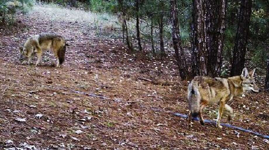 Sightings of coyotes and other predator animals are on the rise around residential areas in Conroe and Montgomery County.