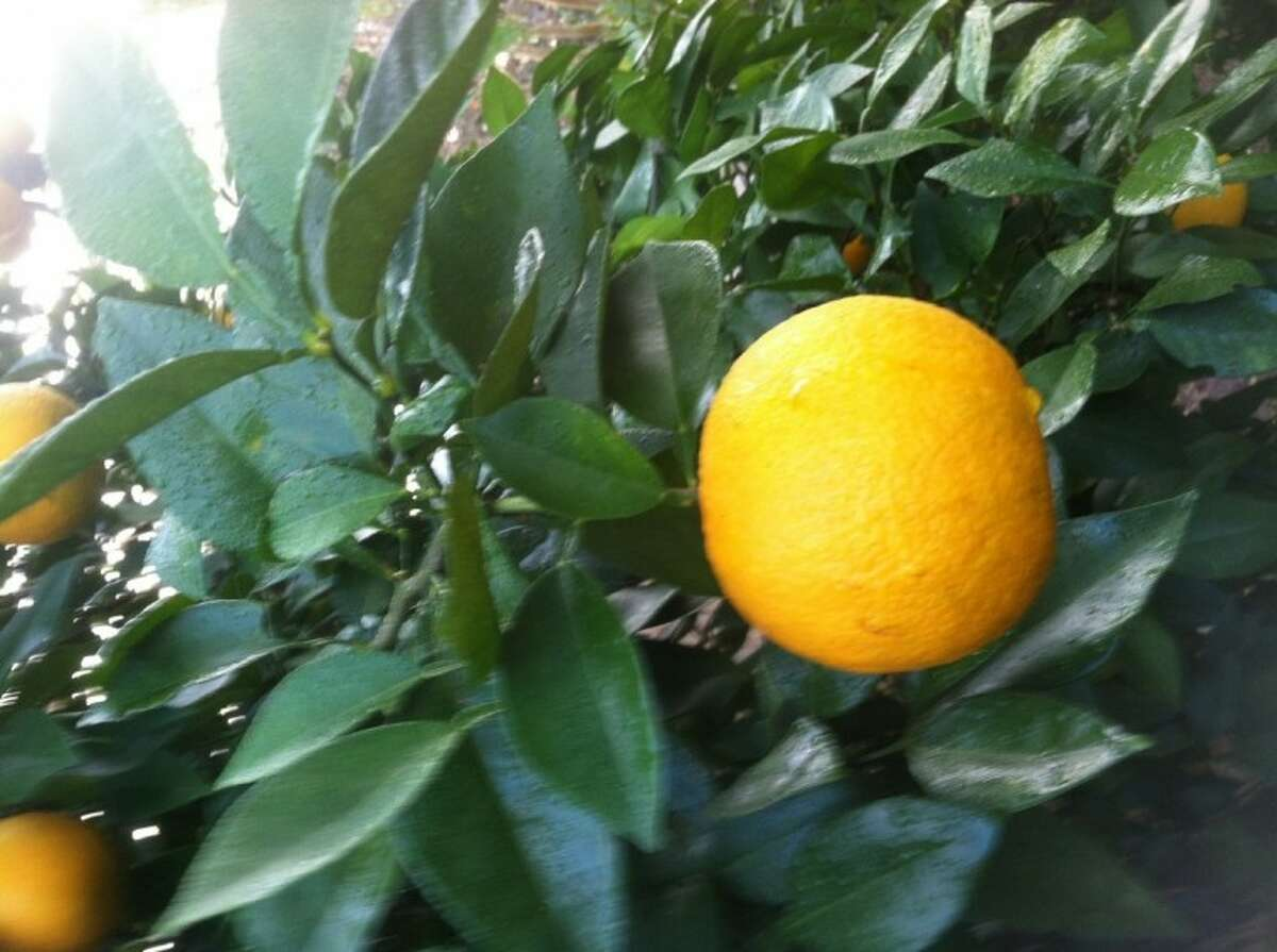 Monitor the weather forecasts and if hard freezes are coming it's a good idea to make sure you've harvested the ripe citrus fruit that are still on your trees.