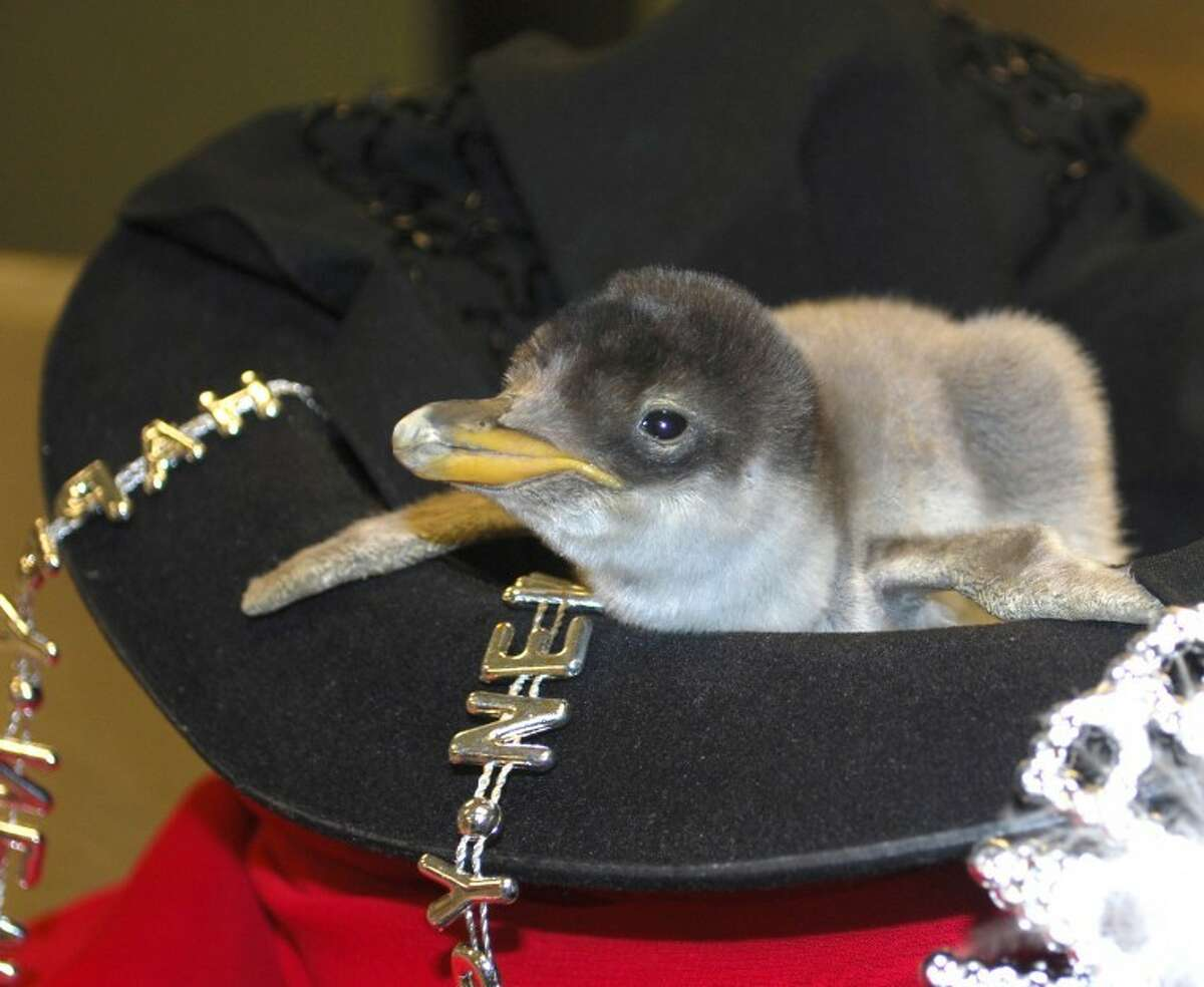 New penguin chick