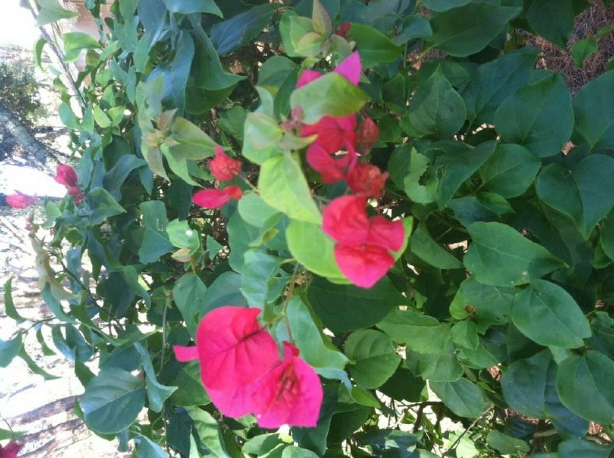 Photo by JIM MOLONY/gumbosoil.comBougainvillea with red bracts.