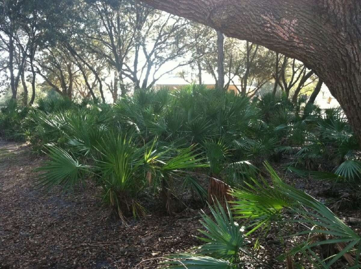 Photo by JIM MOLONY/gumbosoil.comPalmettos thrive in the southeastern U.S. in full sun or dappled shade, as long as they have good drainage.