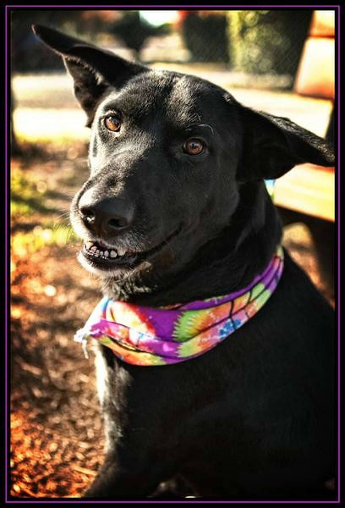 PreitaFemale ID# 205975 Preita is a just a pup at 1 year and 8 months. She is very friendly, playful and ready to learn and please. She is a lab mix who walks well on a leash and loves playing with stuffed toys. You can take her home today and make her a part of your family. We are located at 900 Portway Drive and open 7 days a week.