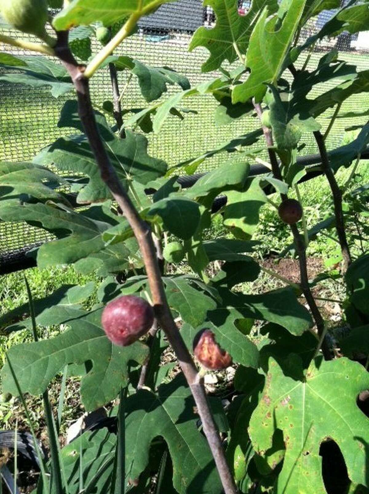 The hardy fig tree is just one of the trees to be on sale at the Montgomery County Master Gardener Fruit and Nut Tree Sale Jan. 26.