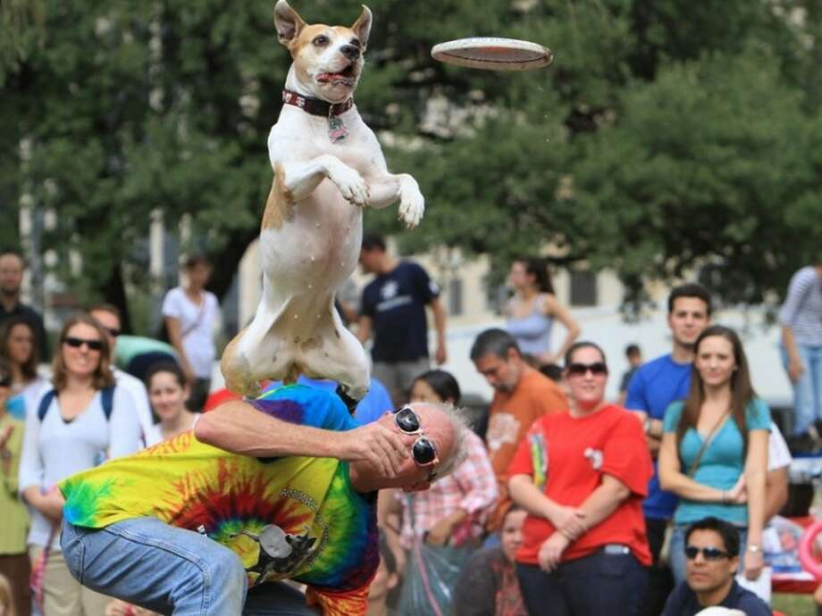Karma, a 6-year-old pit bull, shows off for the crowd with his owner LeRoy Golden, a Fulshear resident and president of the Houston Canine Frisbee Disc Club, at the 2011 Texas-sized Pittie Pride Festival in downtown Austin.