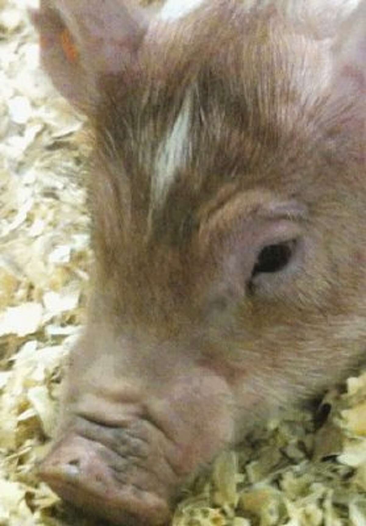 A student's pig at the Kingwood FFA ag barn was injured in what is believed to be an attack by an unknown person.