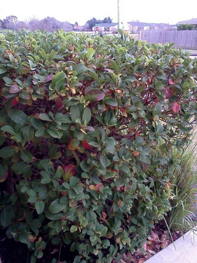Photinias need good air circulation and good drainage to thrive. Photo: SUBMITTED PHOTO