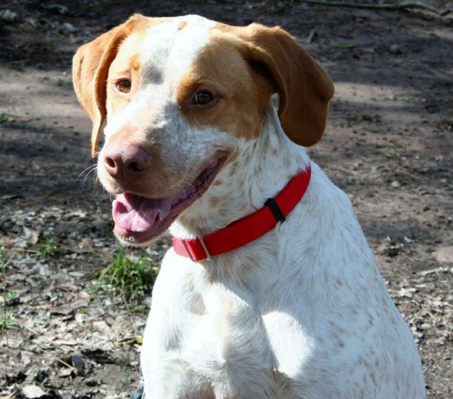 This five-year-old pointer needs a loving home. To find out more about Colt, contact Abandoned Animal Rescue.