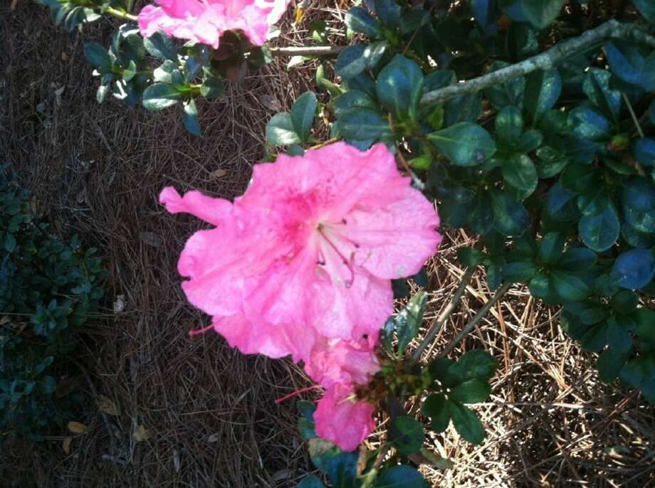 Azaleas come in a wide variety of colors.
