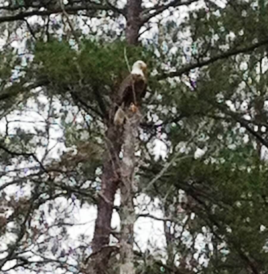 A bald eagle was seen in the Cleveland area on Thursday, Feb. 9. Photo: Submitted Photo