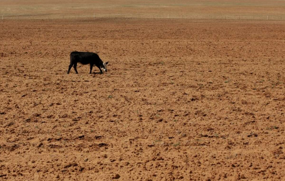 In this Aug. 12 photo, a cow grazes in a dry field near Westbrook. Texas' historic drought brought the biggest one-year decline in cows. Crop and livestock losses are estimated at $5.2 billion in Texas for 2011, which was the driest year ever for the state.