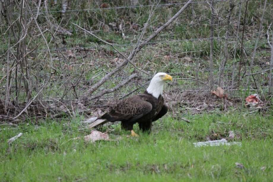 Tommy Koen, a patrol sergeant for the Liberty County Sheriff's Office, took this photo of an American eagle on Sunday, Feb. 5, just outside of Liberty. Photo: TOMMY KOEN