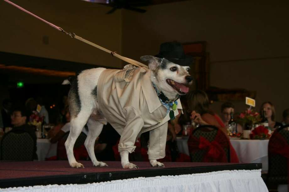 Twofer, the dog of the AABY Foundation founders Jim and Kay Pass, does his best Humphrey Bogart impression at the AABY style show and Luncheon Aug. 1. All proceeds from style show were donated back to the AABY foundation to help with their Seniors Only Service and to help AABY expand as the community continues to grow.