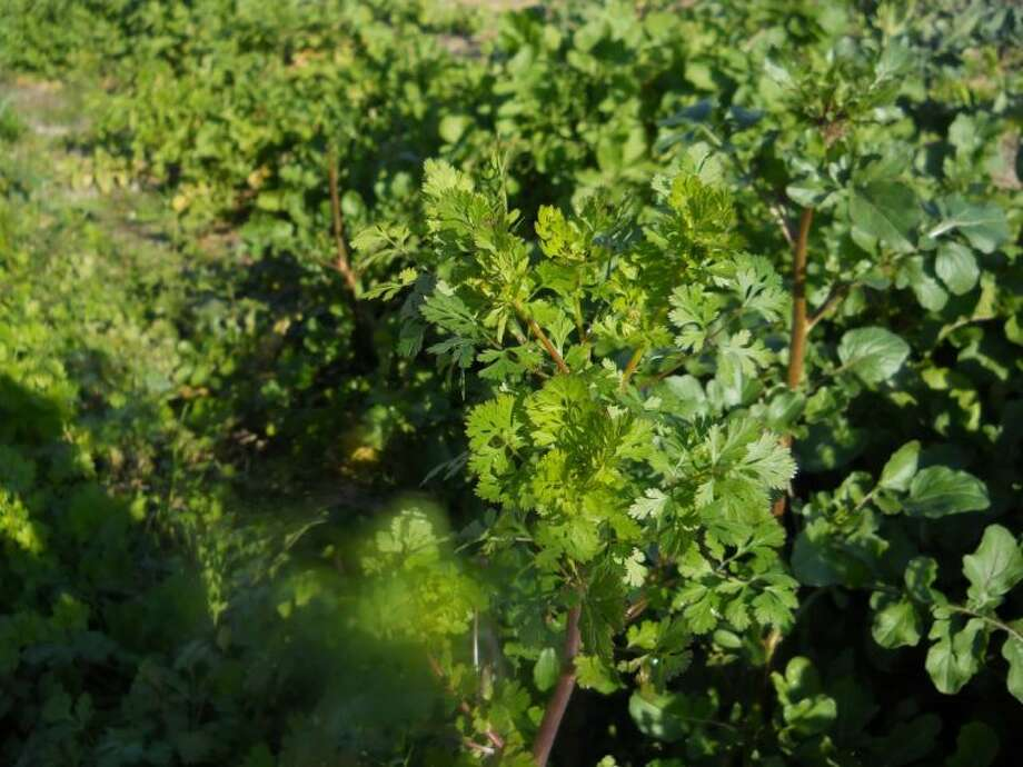 Any part of the cilantro plant is edible. Photo: JIM MOLONY