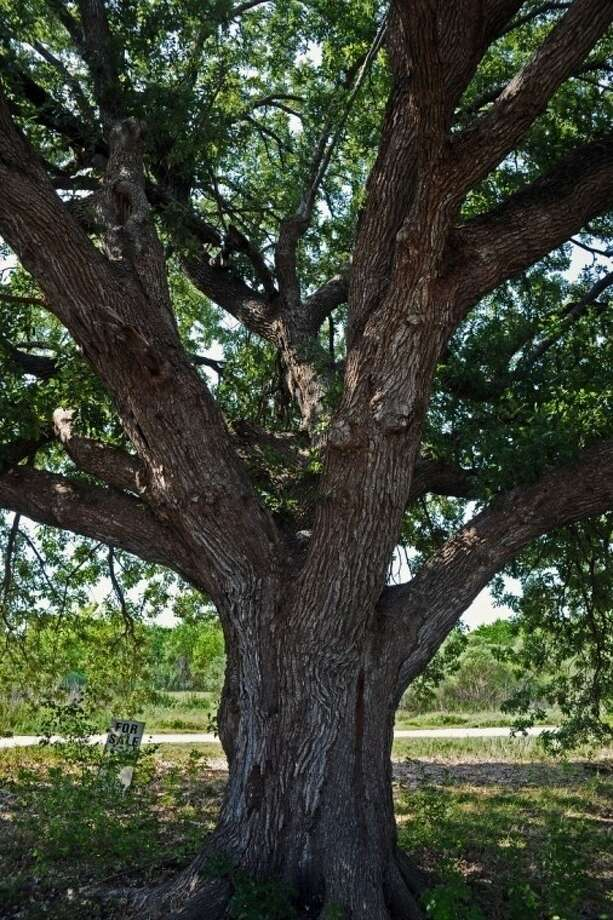 League City Mayor Tim Paulissen and the city council voted to begin eminent domain proceedings on a .896 acre parcel of land on Louisiana Avenue near FM 518. If successful, taking control of the lot will give city officials control of an endangered 100 year-old Compton oak tree that sits in the way of a road-widening project. Photo: Kirk Sides
