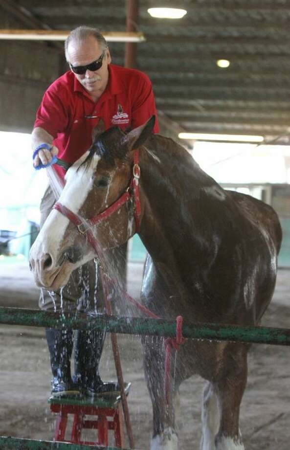 """Handler Jim Damico washes down Budweiser Clydesdale """"Manson"""" at the Great Southwest Equestrian Center in Katy. The Budweiser Clydesdales were in town preparing for their appearances at the NBA All-Star weekend in Houston. Photo: Alan Warren"""