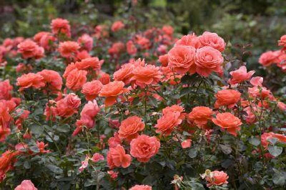The International Rose Test Garden, the oldest garden of its kind in the United States, attracts visitors from all over the world.