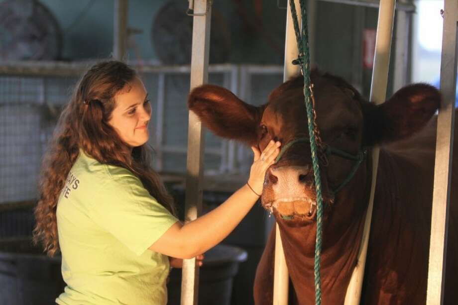 "Photo by Alan Warren/Houston Community NewspapersTiffany Rechner, a 16-year-old student at Seven Lakes High School, spends some time with her steer, ""Kash,"" in the barn at Katy ISD's Gerald D. Young Agricultural Facility. Photo: Photo By Alan Warren"