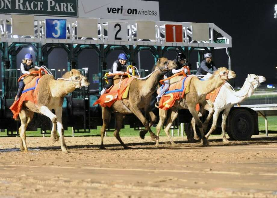 Sam Houston Race Park presents the return of exotic racing featuring Camel and Ostrich races. They will host the unpredictable and fun-filled races Saturday, March 9.