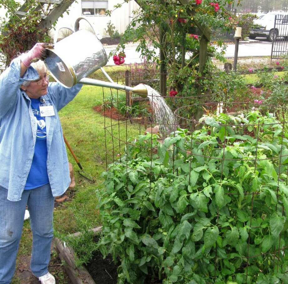 Foliar Feeding a Tomato Plant in November.