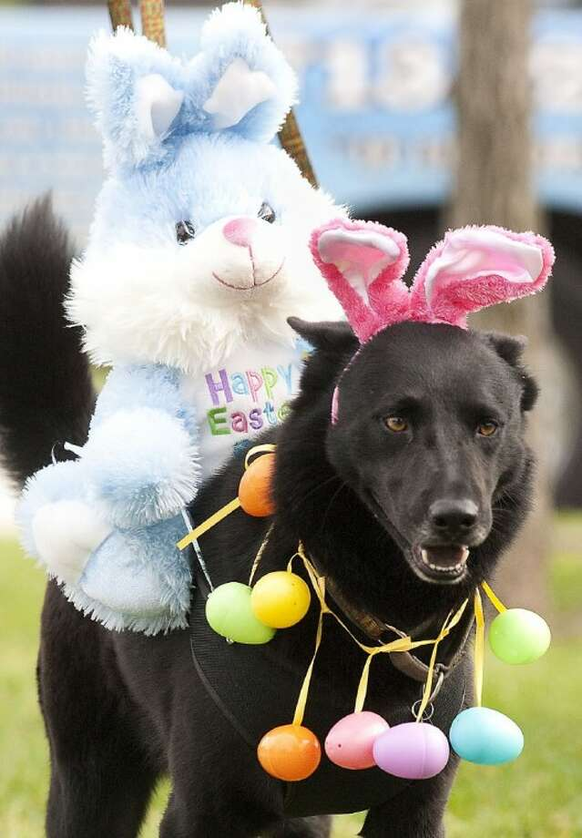 Nitus, a three-year-old sheppard mix, won the most original costume in during the fourth annual Paws in the Park Golden Eggvent at the Katy Dog Park.