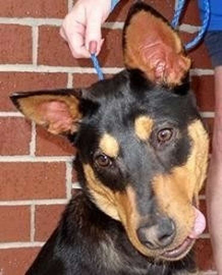 Ciara is a 7-month-old black and tan Australian cattle dog/Doberman mix. For more information, visit the Citizens for Animal Protection website at www.cap4pets.org, call 281-497-0591 or stop by 17555 Katy Freeway. Photo: Citizens For Animal Protection