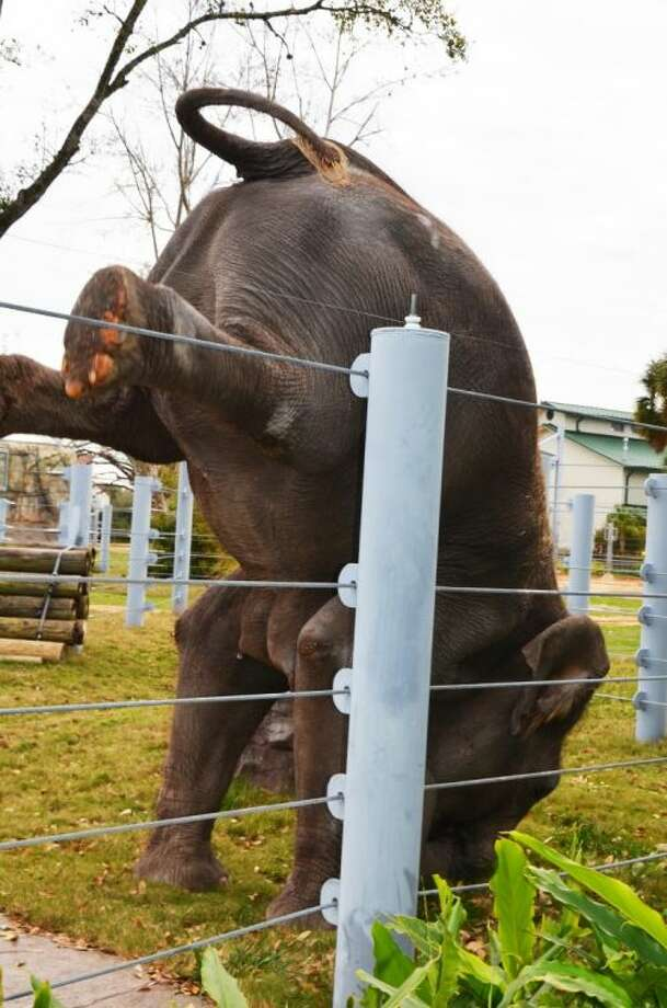 Tess, Tupelo's mother, shows off at the Houston Zoo during an elephant demonstration.