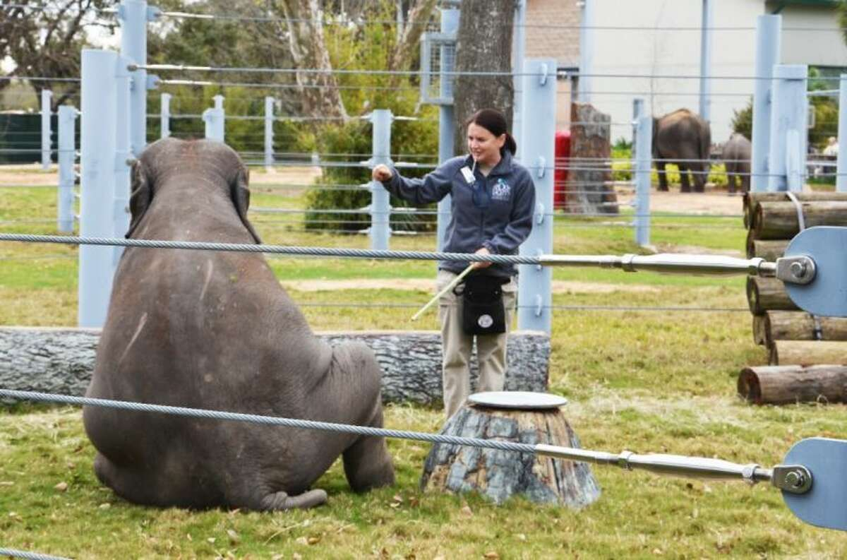 Tupelo, a 2.5 year old Asian elephant, follows instruction from her trainer at the Houston Zoo during an elephant demonstration.