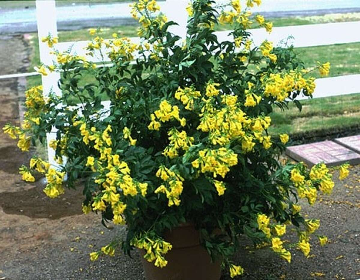 For summer color in your landscape you could do a lot worse than Esperanza.