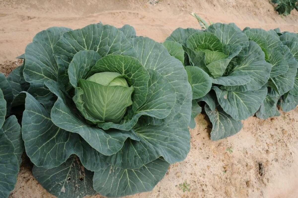 Blue Vantage cabbage.