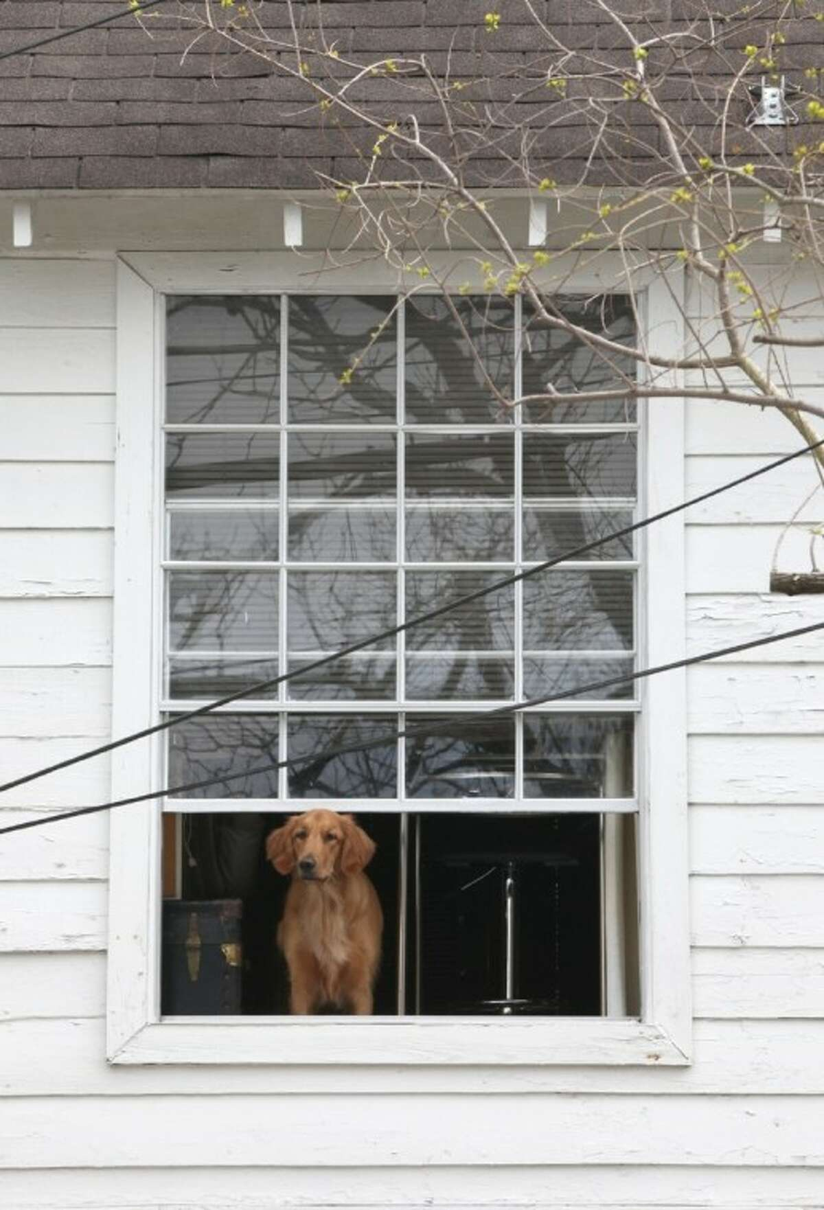 A Golden Retriever watches spring break traffic go by from a second story window near Rice Village Monday.