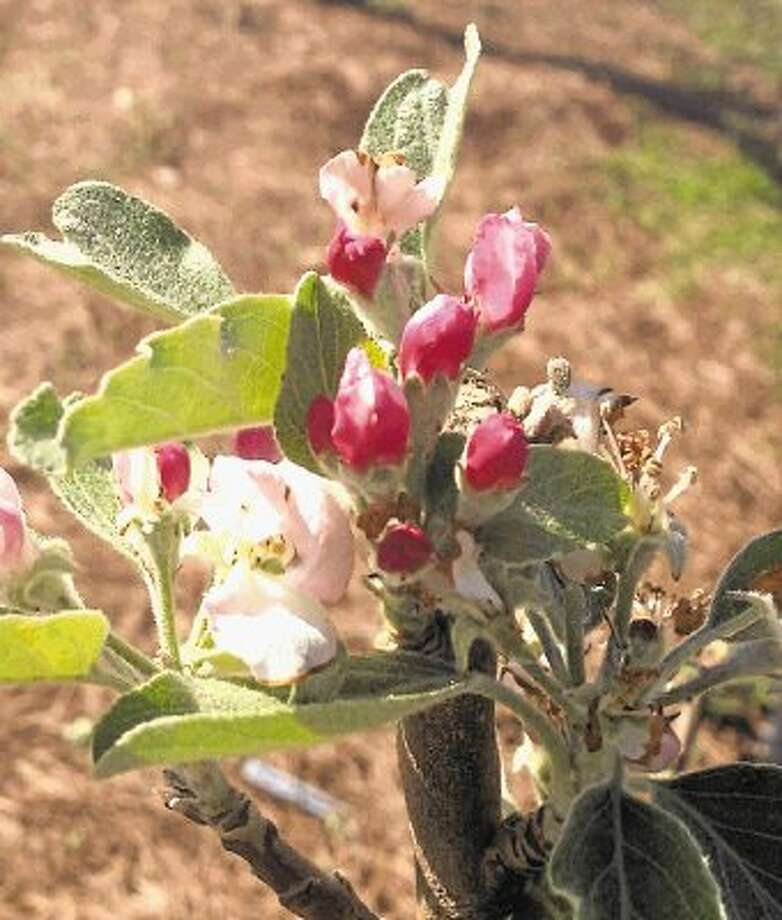 Now is the time to plant fruit trees such as the Carnivale Apple. / @WireImgId=2618075