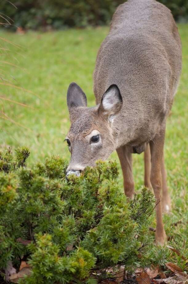 Deer will eat a wide variety of vegetation.
