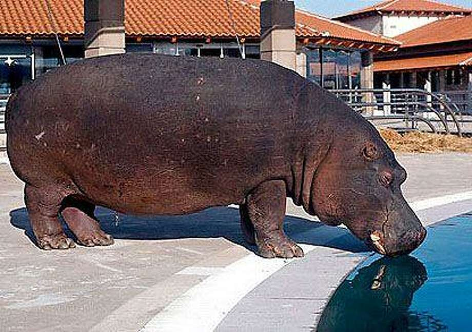 This hippo obviously doesn't know how bad that is for its teeth.