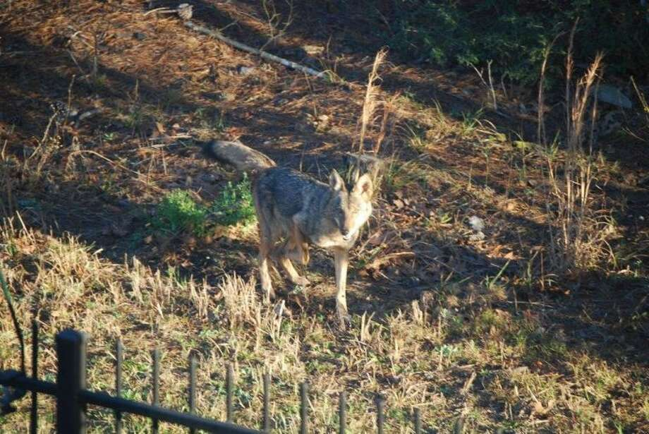 The Currans have photographed several coyotes running behind their property since the long weeds, grass and underbrush have continued to grow.