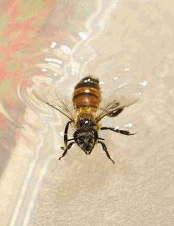 Caretaker Brenda Vozzo said placing bees in cool water helps stun them before using them to sting Alan Swor at his home in The Woodlands. Swor, who has multiple sclerosis, receives 30 bee stings on his body every three days as part of his bee sting therapy to help relieve inflammation. / Conroe Courier