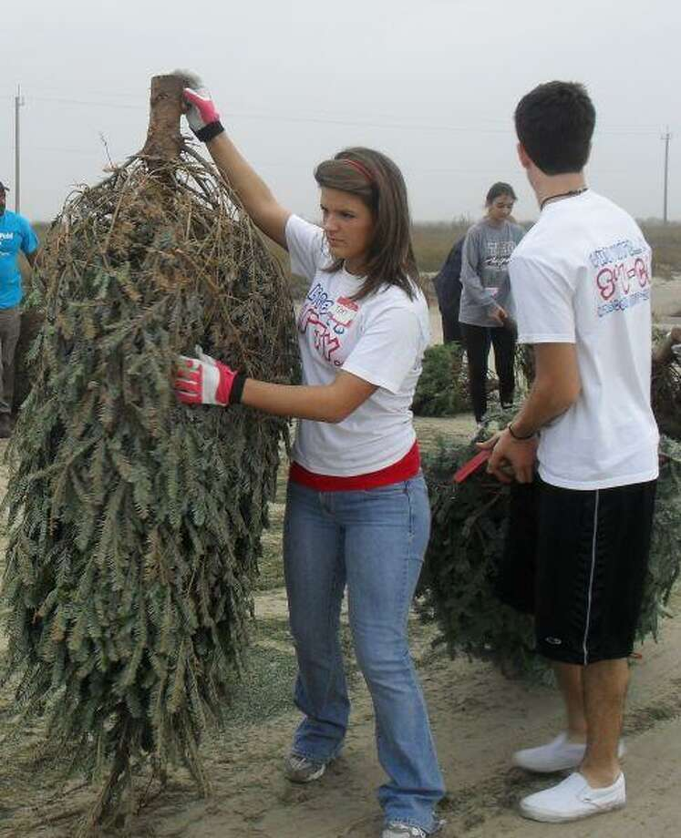 Tori Thompson of Atascocita High School, Stephanie Pope of Kingwood High School and Jaren Rone of Atascocita High School use recycled Christmas trees to restore sand dunes at Surfside that were destroyed by Hurricane Ike.