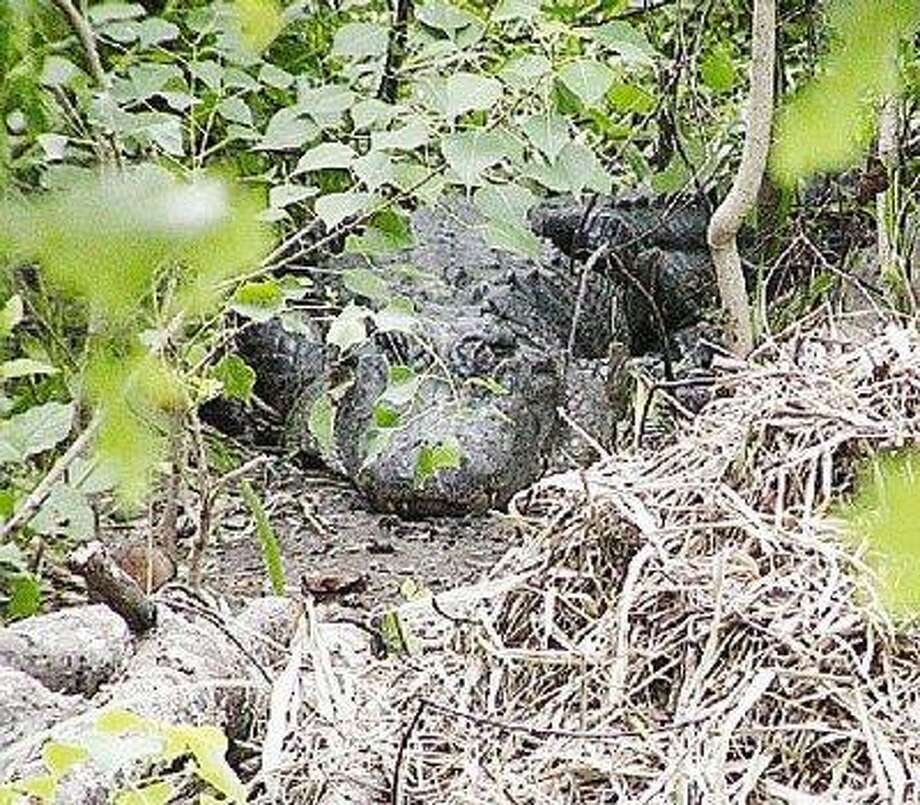 An alligator lurks in the cool greenery at Brazos Bend State Park, its nest in the foreground. Photo: Submitted Photo / @WireImgId=910967