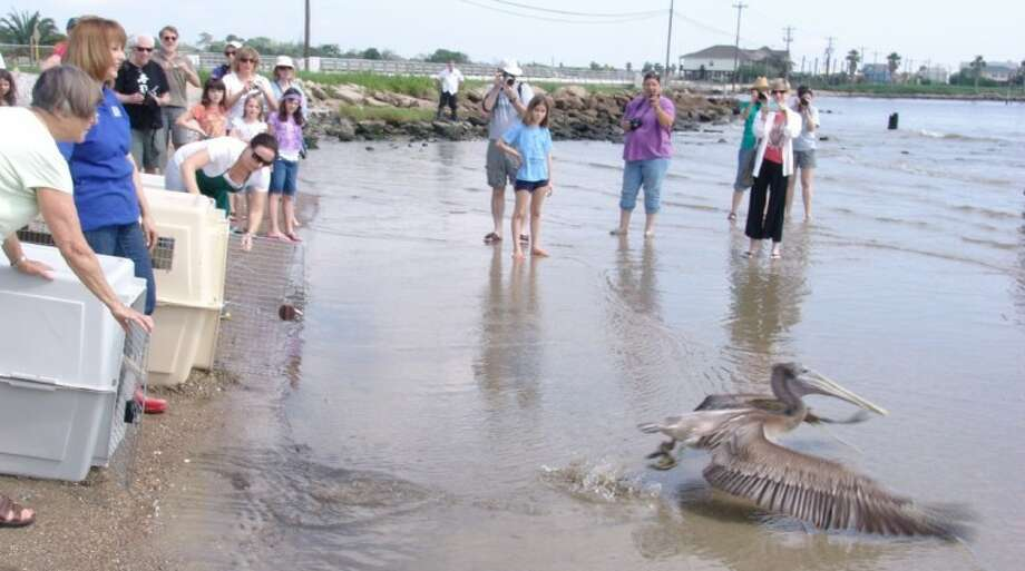 More than 65 people gathered at the Seabrook waterfront to see 11 brown pelicans released by the Wildlife Center of Texas. Photo: JEFF NEWPHER