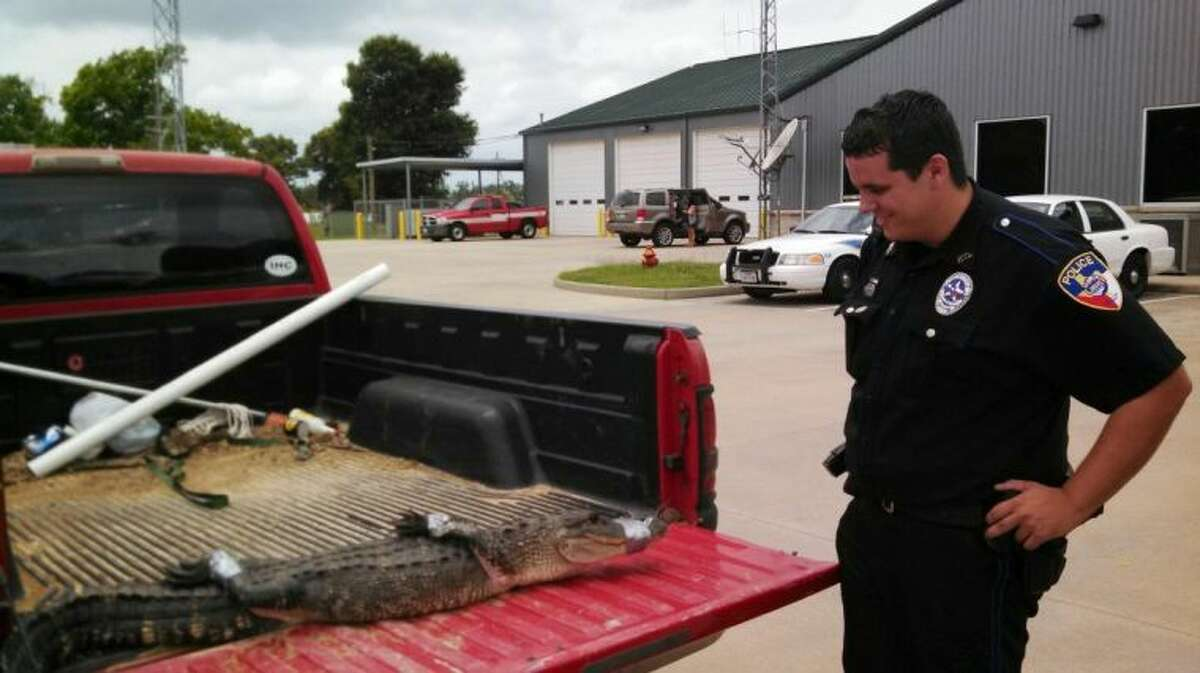 Liberty Police Officer Chance Maddox gets a closer look at an alligator he and Liberty County Sheriff's Deputy Josh Cummins captured Wednesday afternoon at a home on Mizell Road in Liberty. The alligator measured six feet long.