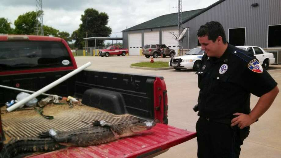 Liberty Police Officer Chance Maddox gets a closer look at an alligator he and Liberty County Sheriff's Deputy Josh Cummins captured Wednesday afternoon at a home on Mizell Road in Liberty. The alligator measured six feet long. Photo: Liberty Police Department